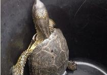 Черепаха бродила по улицам Чехова в поисках обеда