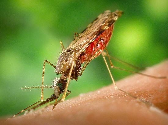 ВНовосибирске расплодились комары имошки