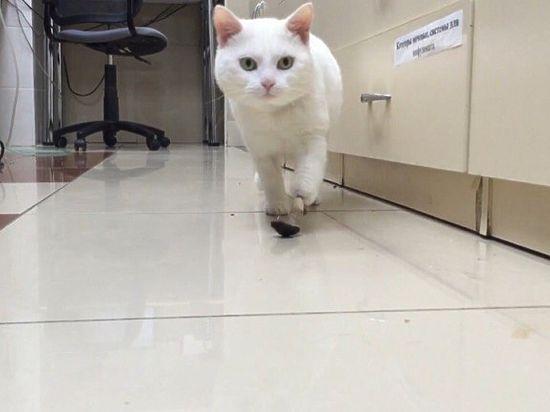 Новосибирские ветеринары первыми в Российской Федерации вживили коту титановый протез лапы